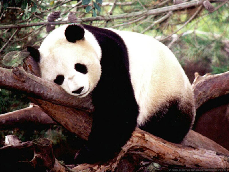 Stop being lazy like this panda Eug Now go make me some sandwich.